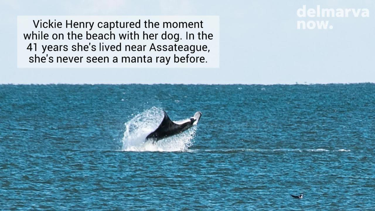 WATCH: Manta ray spotted off the coast of Assateague Island