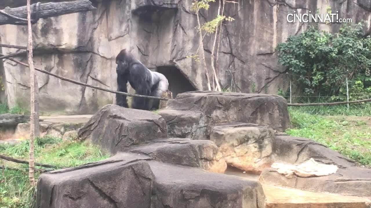 In January, a federal judge ruled the 37-year-old male gorilla, Ndume, should be transferred tothe Cincinnati Zoo from a California foundation.