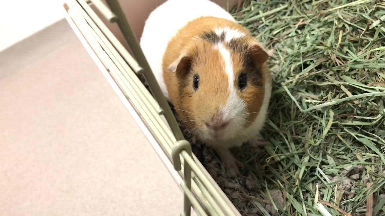 Marlow likes to explore, play and people watch.  Will do well with other Guinea Pig friends in his forever home.