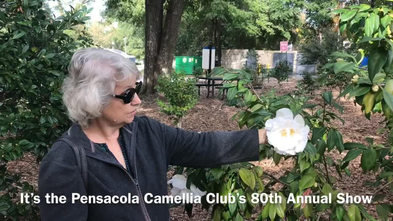 The Pensacola Camellia Club will host its 80th annual show at The University of West Florida on December 8.