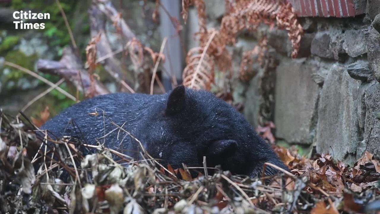 A bear tried to take up residence in the backyard of a North Asheville home.