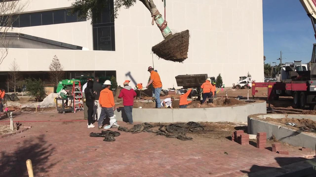 20-year-old live oak tree gets new home downtown
