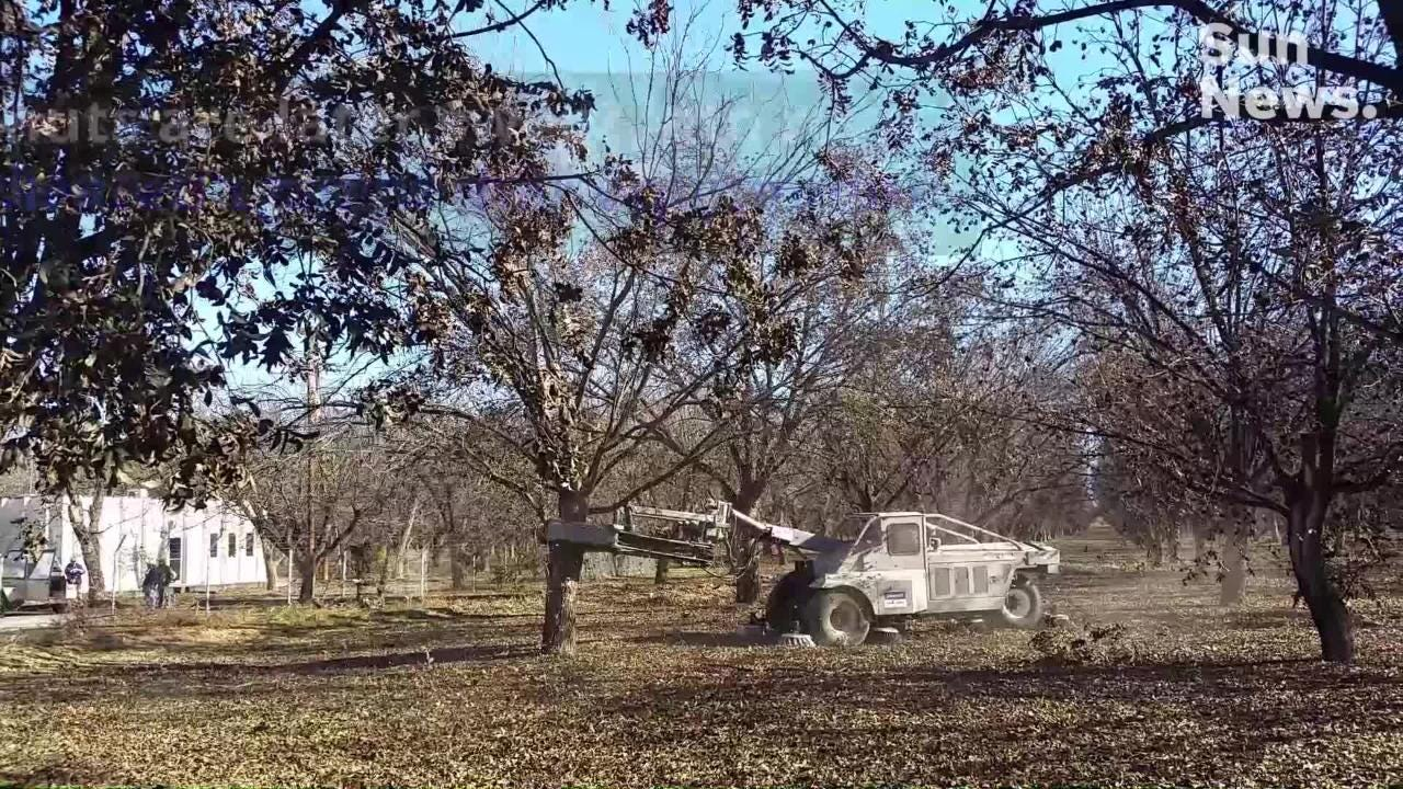 Many pecan farmers use equipment to harvest their orchards. The process starts with shaking trees.