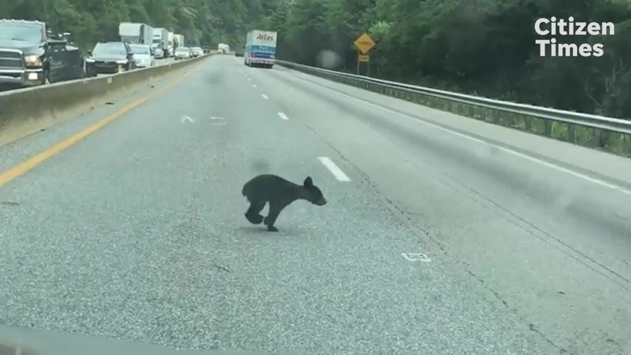 Traffic stops while a family of black bears crosses I-40.