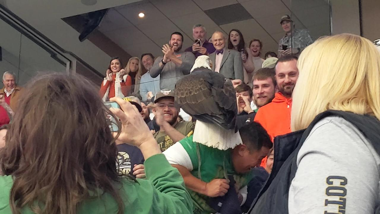 A bald eagle lands on a spectator before Saturday's Cotton Bowl Classic between Notre Dame and Clemson at AT&T Stadium in Arlington, Texas.