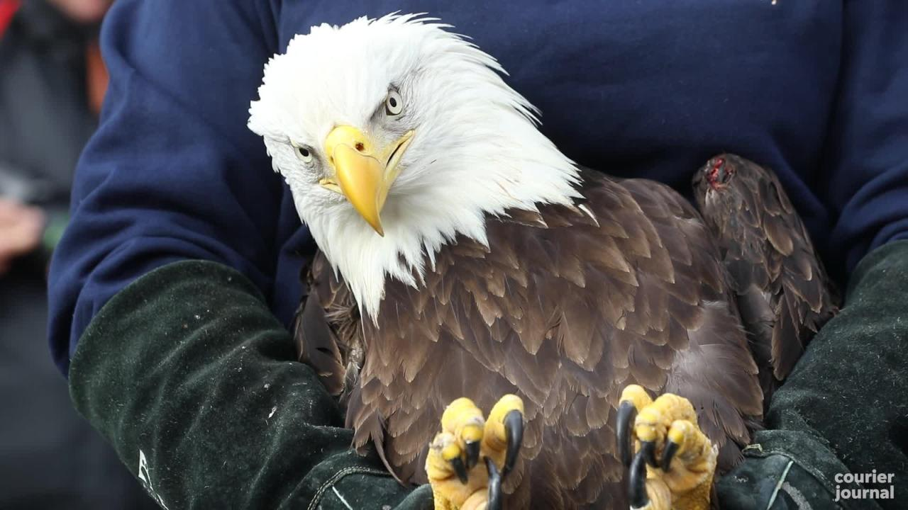 Julie, a rescued bald eagle, was released at George Rogers Clark Homesite in Clarksville, Indiana, on Jan. 22, 2019.