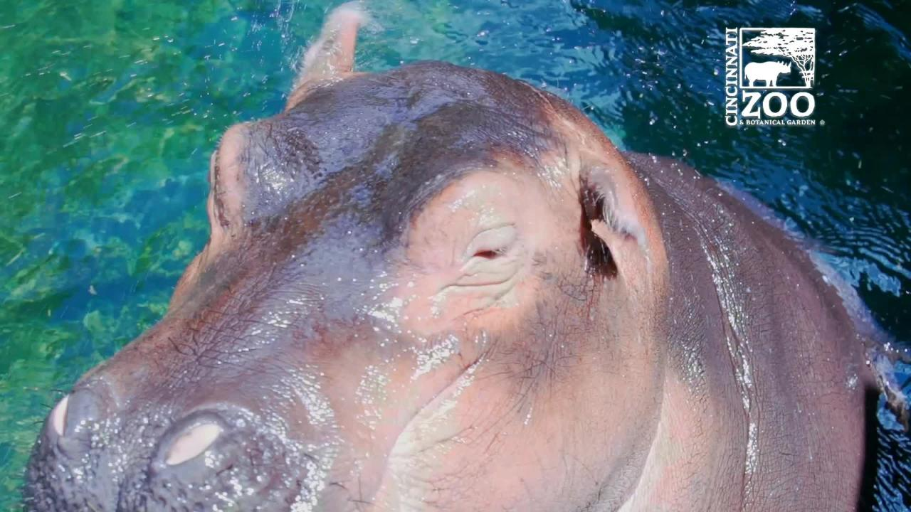 The Cincinnati Zoo & Botanical Gardens celebrates Fiona the hippo's second birthday with a look back on her life.