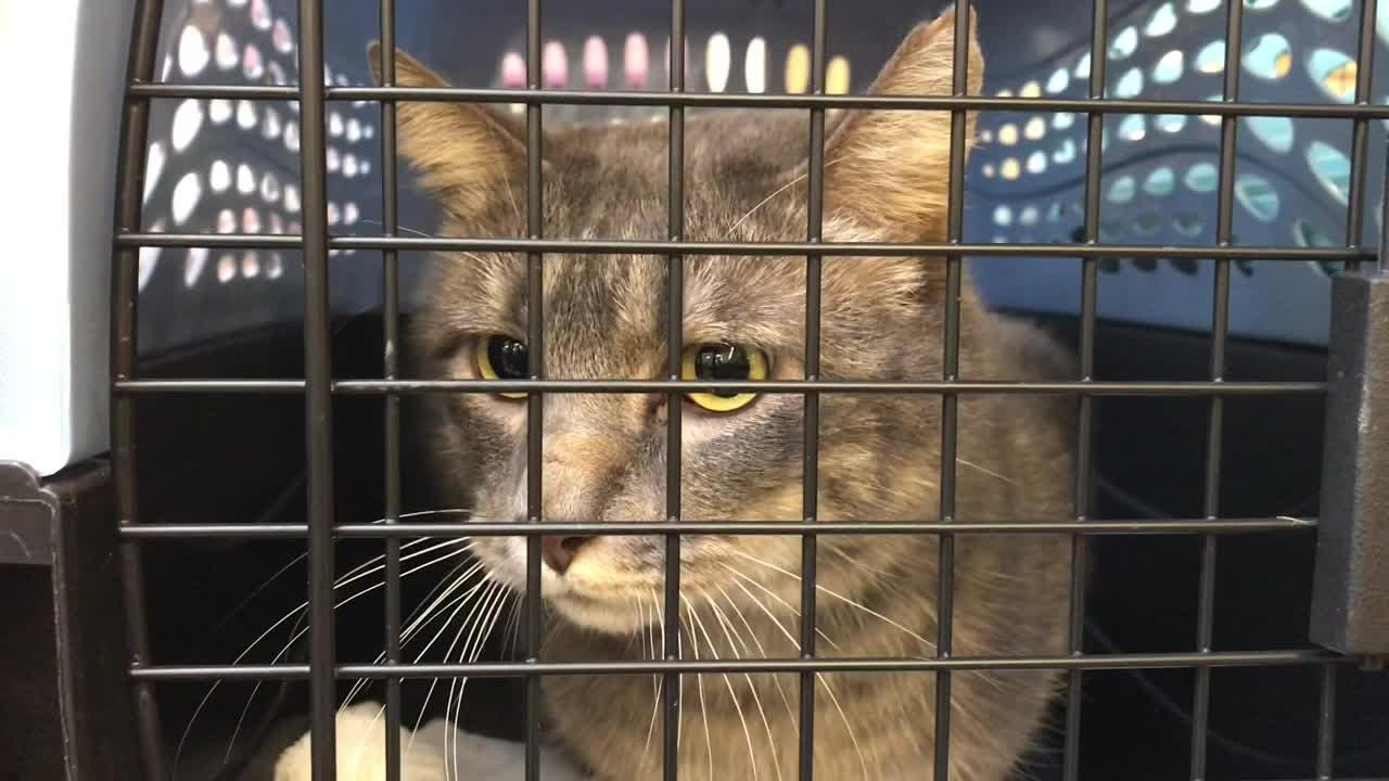 Displaced cats from the Camp Fire in Paradise, California are transferred to the Nevada Humane Society in Reno, Nevada to be placed for adoption after 10 days if no one claims them.