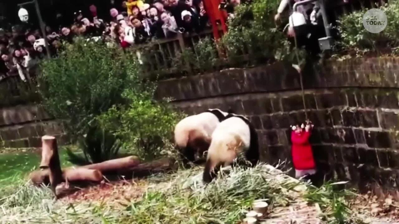 Viral video: Girl gets stuck inside panda enclosure, pandas mind their own business