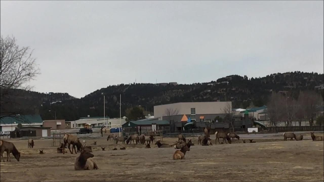 Over 80 elk were kicking back at the White Mountain Sports Complex on an early morning.