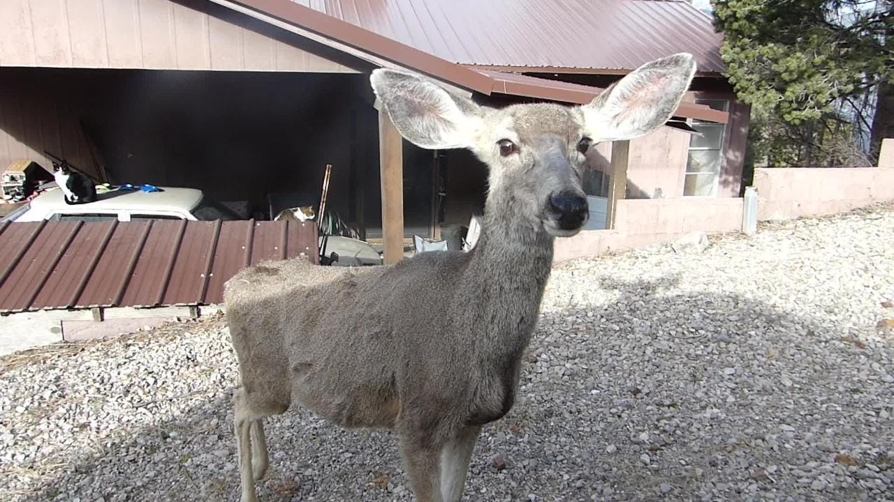 A curious mule deer stops to visit a motorist in Ruidoso.