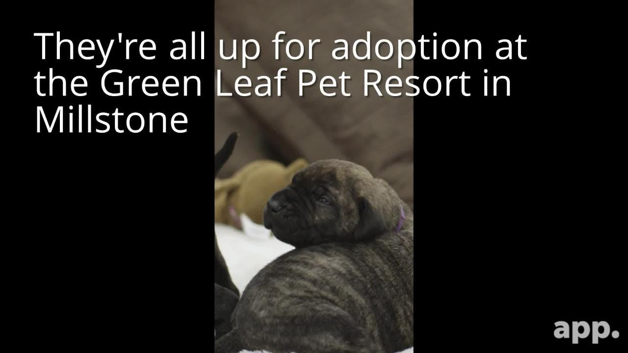 Ten Canary Mastiff puppies are up for adoption at the Green Leaf Pet Resort in Millstone, N.J.