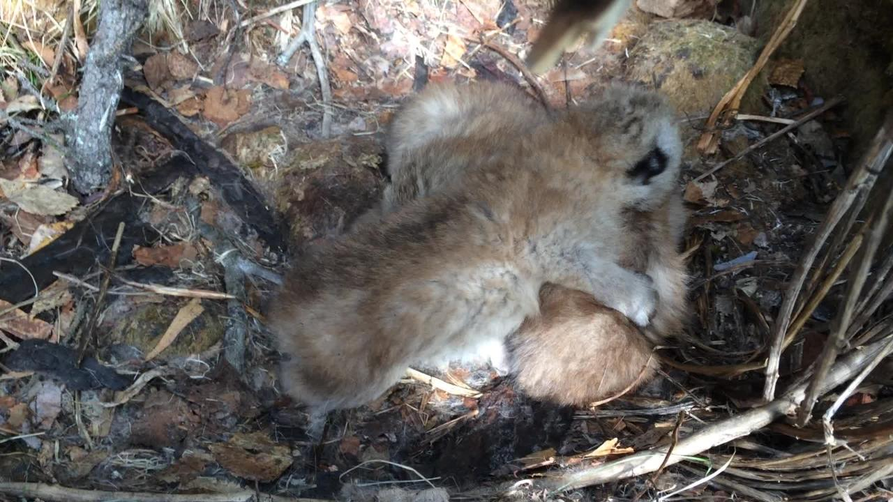 A lynx kitten crawls over others.