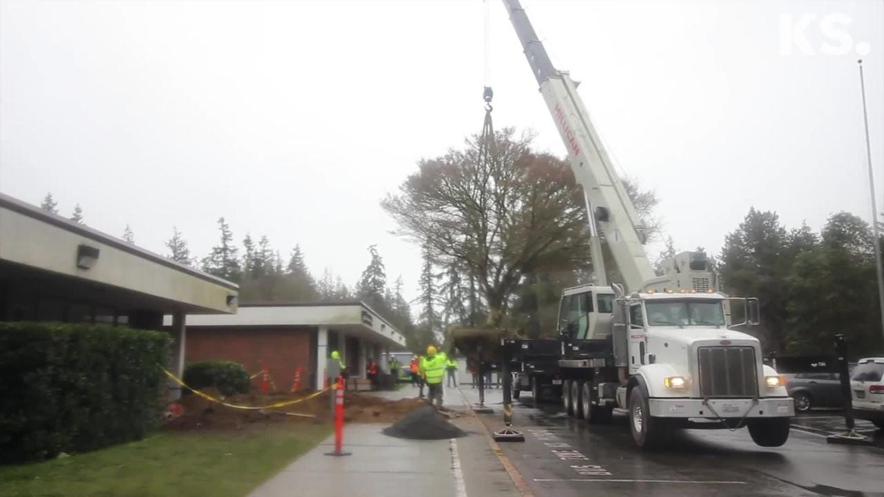 The tree outside Blakely Elementary School on Bainbridge Island was planted in 1967. On Friday, crews moved the tree to the new school.