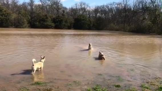 Murfreesboro's dog park was flooded after heavy rains but that didn't stop these dogs from playing fetch in the water Sunday morning.