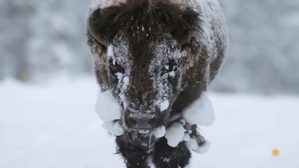Three years of filming went into a new four-part series on the wild lands and wild creatures of Yellowstone National Park.
