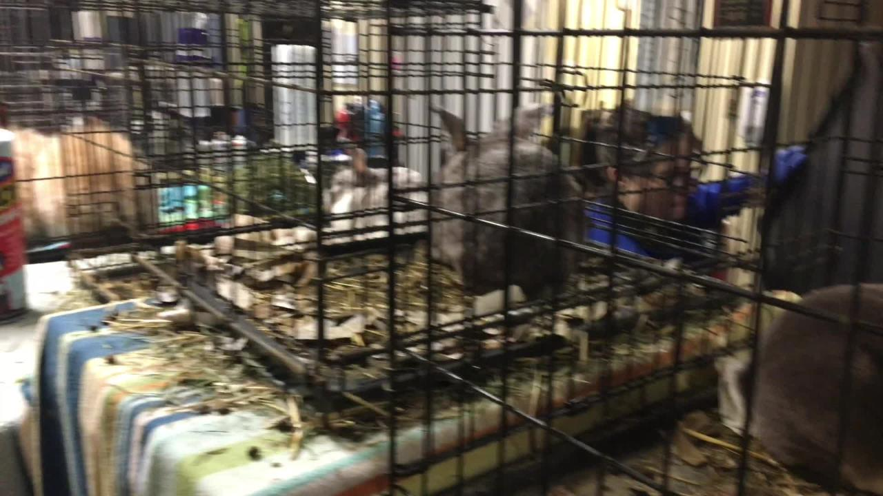 According to KHS, the homeowner had become overwhelmed by the prolific breeding of the rabbits.