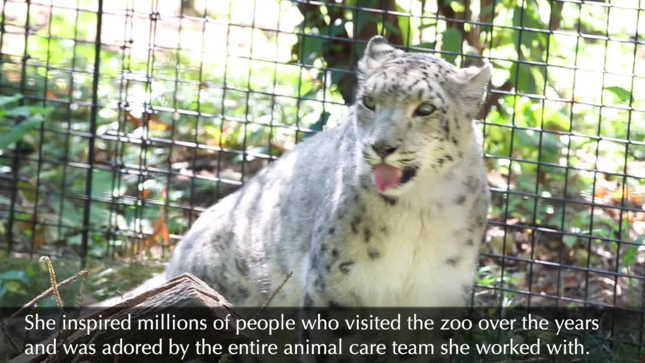 Tribute to Little Girl, the snow leopard, from Potter Park Zoo