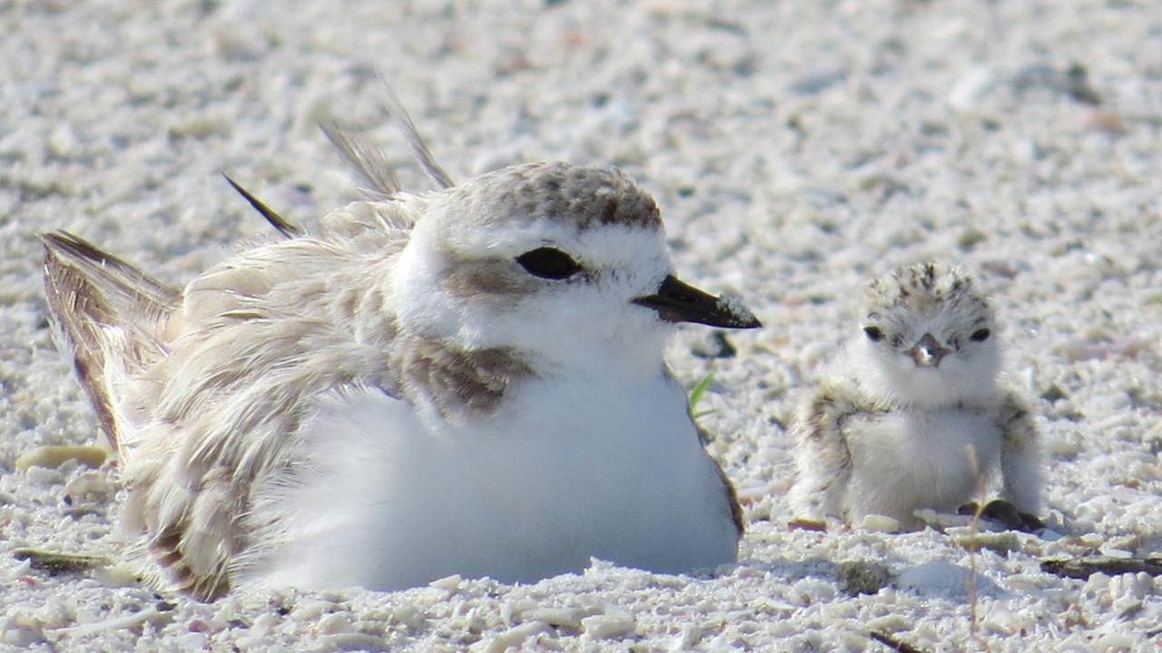 Nesting season for waterbirds runs March through August on Florida's beaches. Learn what you can do to help ensure the protected birds' survival.