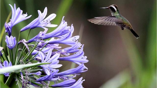 Every July and August, hummers head south through Arizona to warmer climates with lots of flowers and nectar to consume. On the way, they're also banded by researchers, so we can monitor their population health and environmental impact.