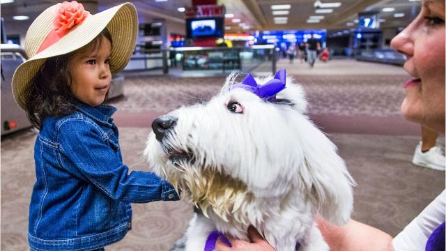 Travelers frazzled by long lines and delays, anxious about flying or simply missing their pet have a new ally at Phoenix Sky Harbor International Airport: therapy dogs.