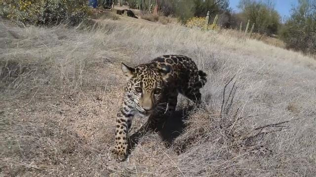 Some nomadic species, like jaguars, could disappear from the U.S. if a wall is built on the border with Mexico. A USA TODAY NETWORK video production.