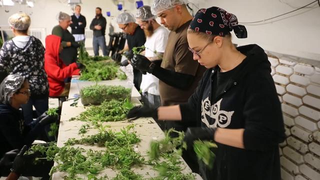 True Harvest has renovated a former Revlon makeup factory in Phoenix into a massive marijuana farm supplying Arizona's medical-marijuana program. David Wallace/The Republic