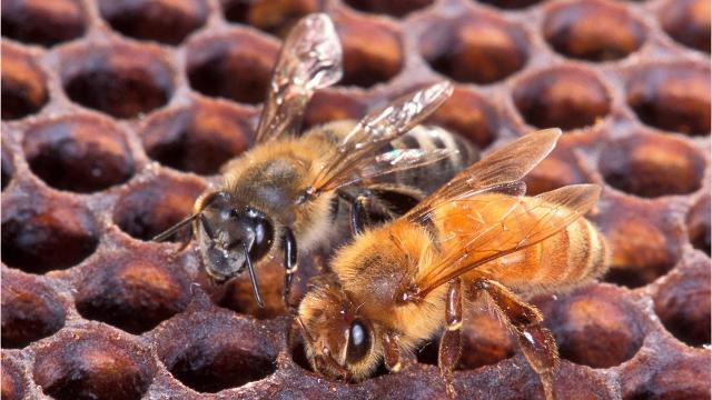 5 things to know about killer bees