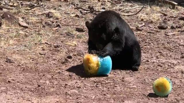 Animals at the Bearizona wildlife park in Williams, Arizona, got a special treat when the park celebrated its eighth birthday.