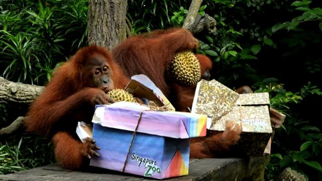 Singapore Zoo marks 44th birthday with feast for its orangutans Video provided by AFP