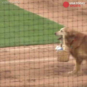 Jake is an adorable Golden Retriever who delivers water to thirsty umpires at minor league baseball games.
