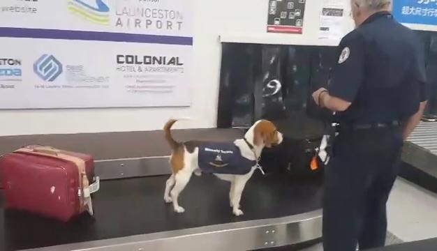 This airport dog is working his tail off at the Tasmania airport. He hopped on the baggage claim conveyor belt to sniff out some illegal fruit!