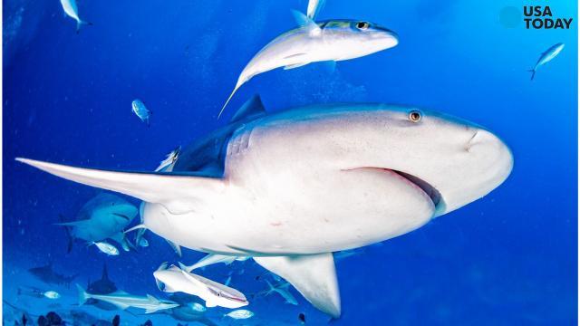 Shark bite at Haulover Beach in Florida: Swimmer's legs bitten