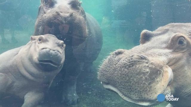 Hippo family reunion will make you smile
