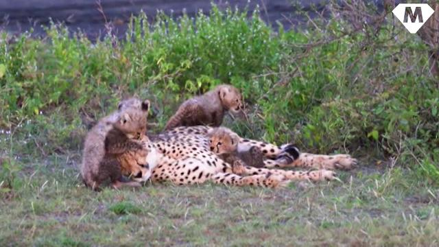 Cheetah mom can't catch a break