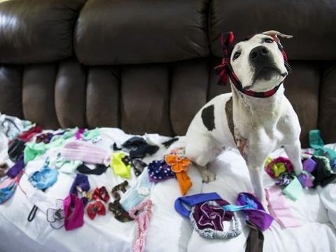 Abused dog and her headbands become face of dog fighting