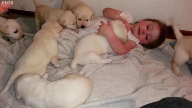Toddler and Labrador puppies brighten our day