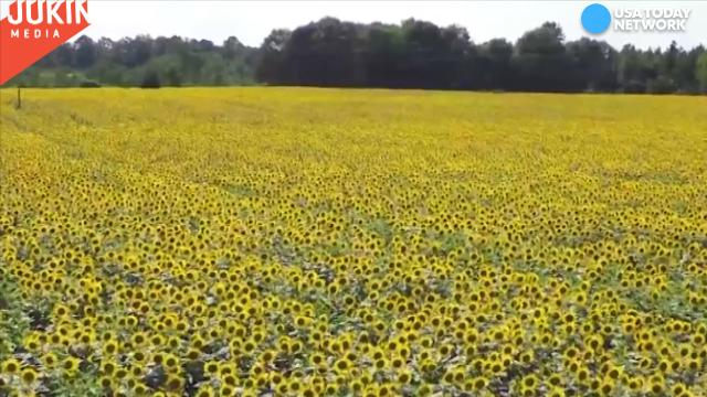 Drone captures breathtaking view of sunflower fields