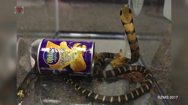 A California man accused of smuggling cobras in potato chip cans