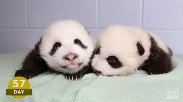 Watch these adorable pandas grow up before your eyes