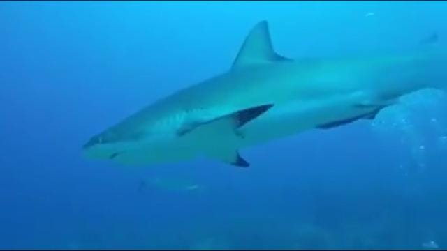 Shark appears to wave at scuba diver