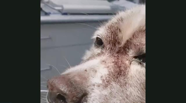Dog nearly dies from extreme flea infestation