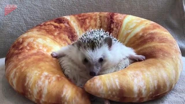 This adorable hedgehog's dancing inside a croissant