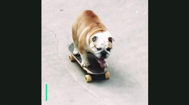 This bulldog taught himself how to skateboard
