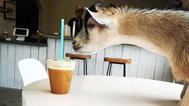 This coffee shop's features an adorable, in-house goat