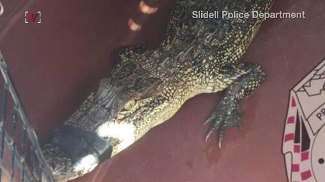 Alligator released back into wild after driver finds it on the road