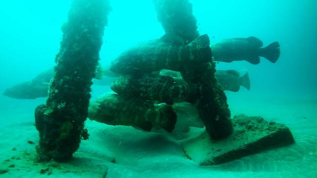 Gentle giants: Diving with Florida's goliath grouper