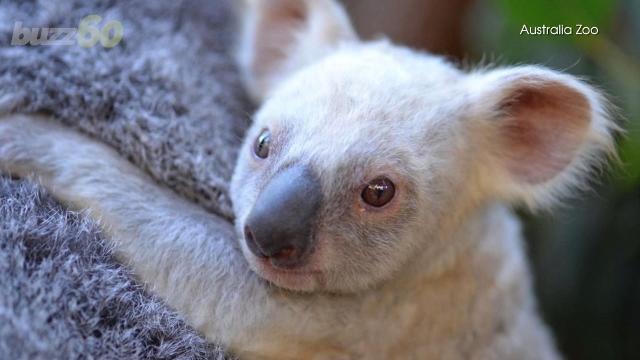 Rare baby white koala needs help finding a name