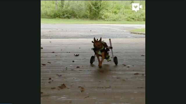 Dog paralyzed from BB gun determined to live active life