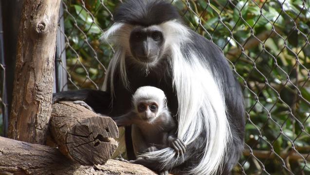 Cute baby monkey born at Bronx Zoo